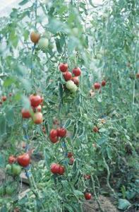 Stades de croissance des tomates