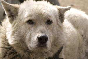 5e année coeur murmure traitement de la toxicomanie chez les chiens