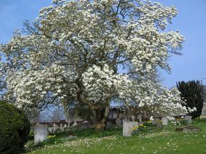Comment se débarrasser de la moisissure noire sur un Magnolia