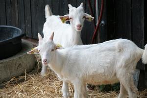 Comment élever un troupeau de chèvres de viande commerciale sur une petite superficie