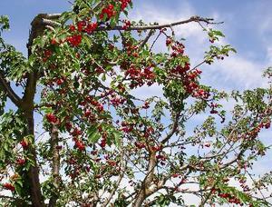 Racine de cerisier