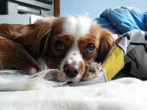 Vitamine B6 comme diurétique pour chiens présentant une insuffisance cardiaque congénitale