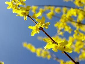 Comment identifier un arbuste à fleurs jaunes au printemps, dans le Wisconsin