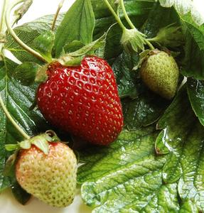 Comment faire des plates-bandes surélevées pour planter des fraises ?