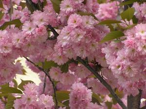 arbre fleur mauve odorante printemps. Black Bedroom Furniture Sets. Home Design Ideas
