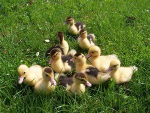 Comment dire fertile canard oeufs