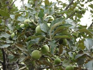 Comment tailler les arbres de la grosse pomme