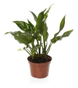 Differents types de la plante menthe for Type de plante