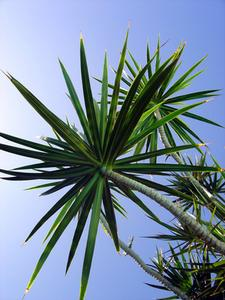 comment prendre soin d 39 un arbre de yucca. Black Bedroom Furniture Sets. Home Design Ideas