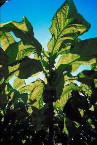 Comment faire pousser & récolte les graines de tabac