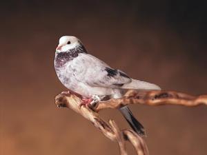 Comment repérer un bon Pigeon Homing