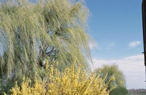 L'arbre de saule tire-bouchon A-t-il Branches pleureur ?