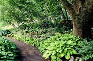 Comment planter des Hostas sous les arbres