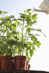 Carence en magnésium dans les Plants de tomates