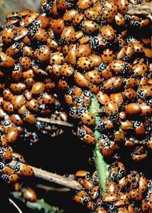Red Bugs sur les érables