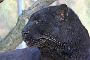 Les différences entre femelles & mâles panthères noires