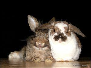 Pourquoi descendre les oreilles de lapin ?