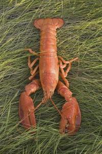 Comment r chauffer les pinces du homard - Comment cuisiner le homard ...