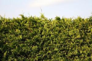 Quelle est la croissance Orange sur mon arbre de cèdre ?