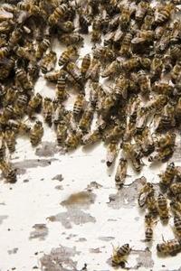 Quel insectes Gather Nectar ?